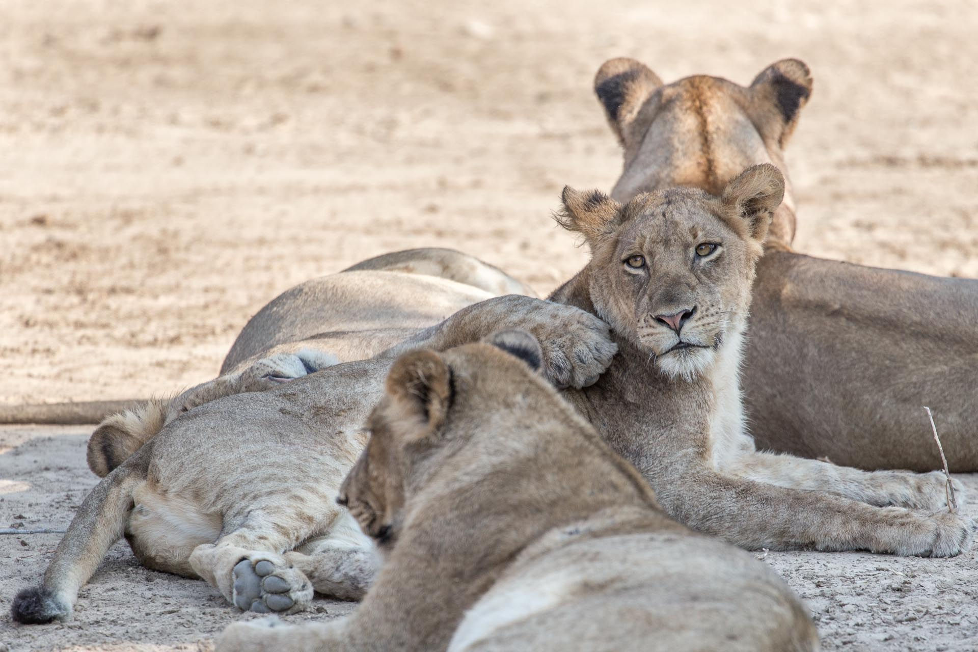 Even lions need a good cuddle sometimes!