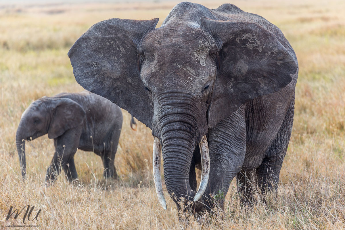 SerengetiEles