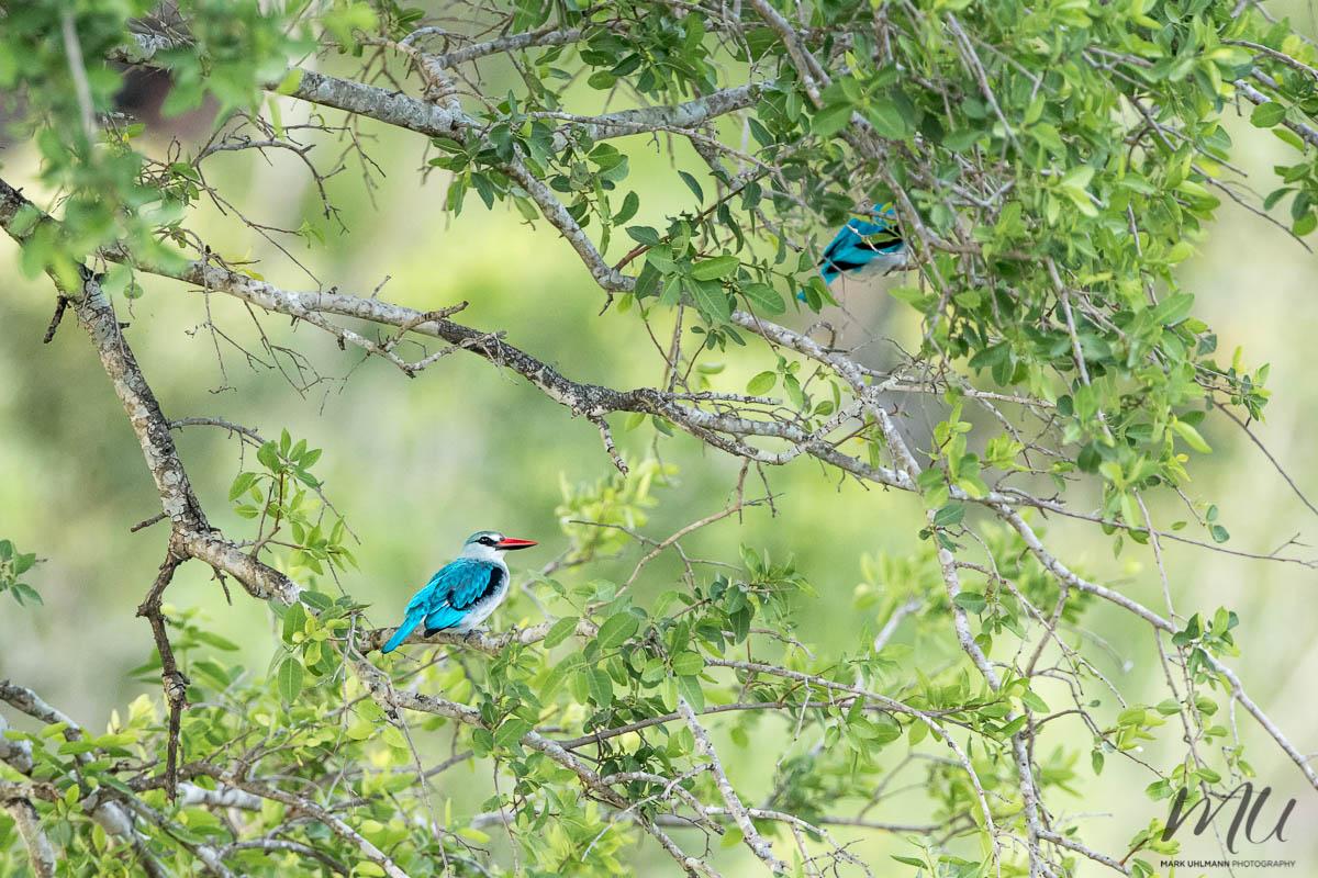 WoodlandKingfishers